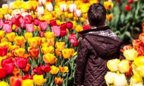 Kaune prasidėjo tulpių žydėjimo savaitės renginiai