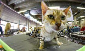 Egzotinių kačių paroda PLC
