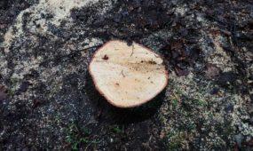 Išpjauti medžiai