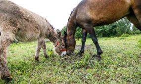 Kauniečiai Zaicevičiai išpildė svajonę - įkūrė Nibrių žirgynėlį