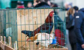 Veislinių gyvūnų paroda