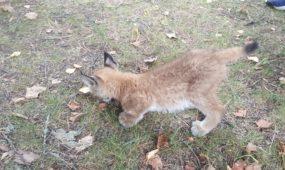 Kaune gyvūnų globėjai priglaudė lūšiuką