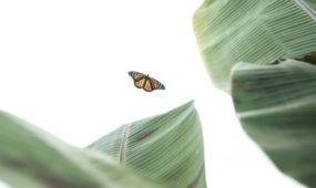 VDU drugeliai Botanikos sodas