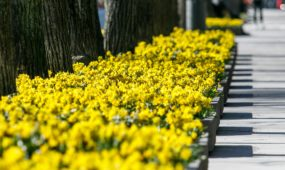 Narcizai Laisvės alėjoje
