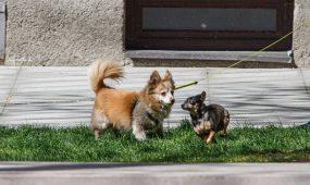 Kauniečių šunys